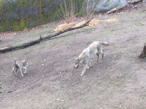 Wolves at Skansen