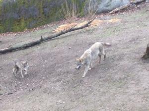 Wolves at Skansen